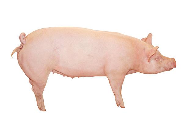 Big Pink Pig stock photo