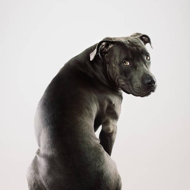 big pit bull hund sitzen porträt - pitbull welpen stock-fotos und bilder