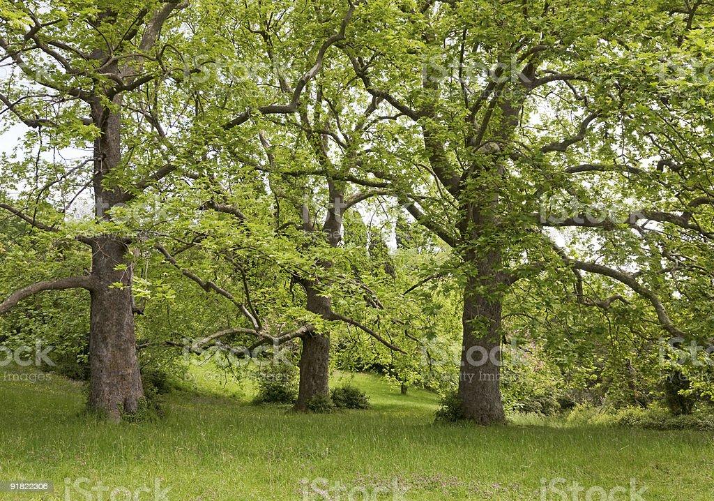 Big plane trees stock photo