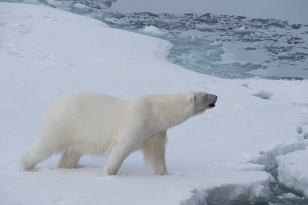 Big polar bear on drift ice edge . stock photo