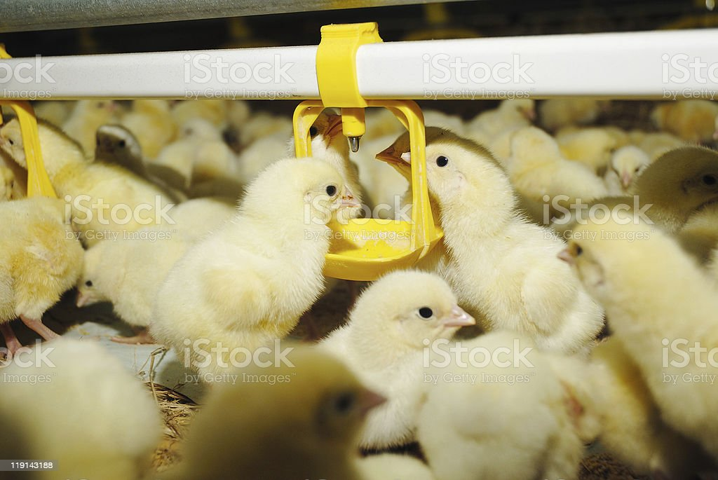 Big poultry rearing farm, chicken drinking stock photo