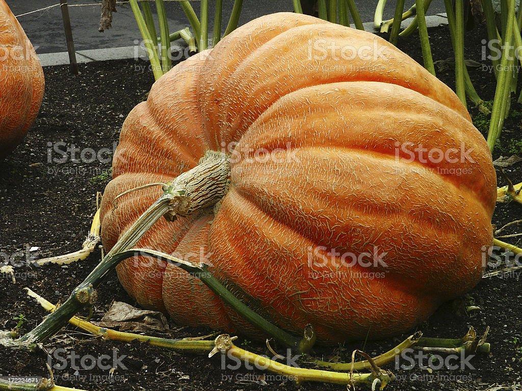Big Pumpkin 2 royalty-free stock photo