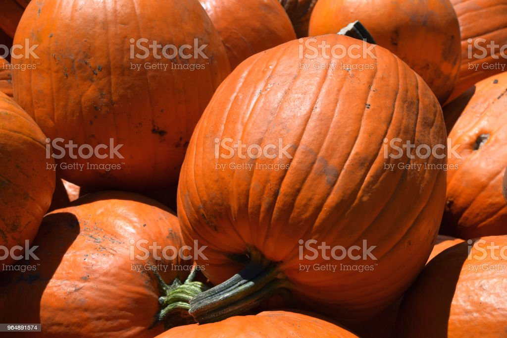 big pumpkins for decoration in october royalty-free stock photo