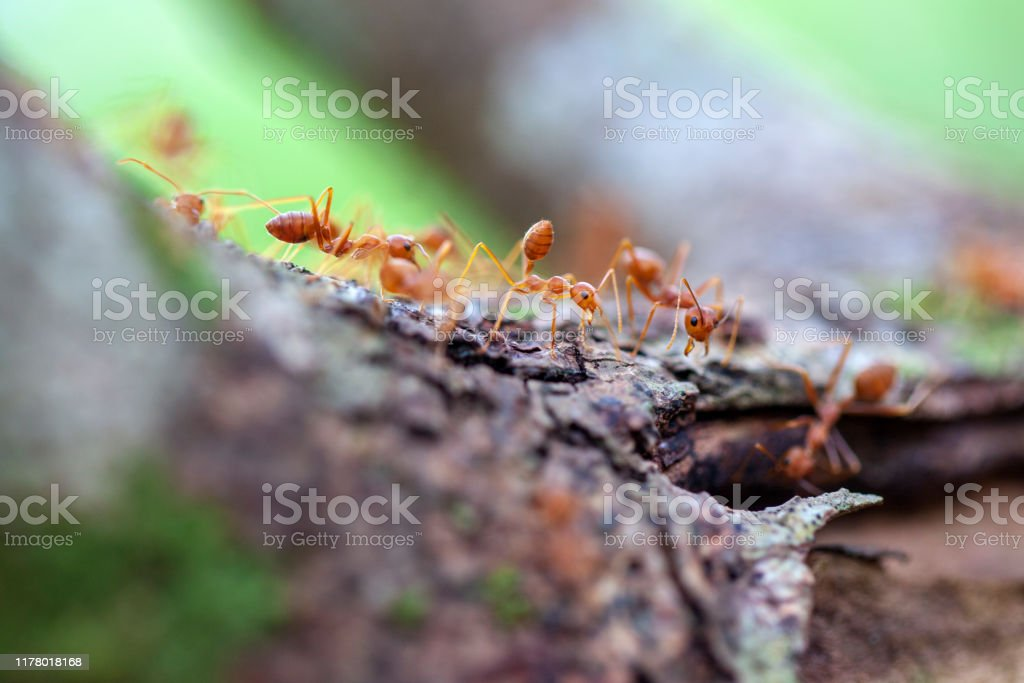 Big Red Ants Swarm Of Big Red Ants Gathering Food On Tree Roots Above Stock Photo Download Image Now Istock