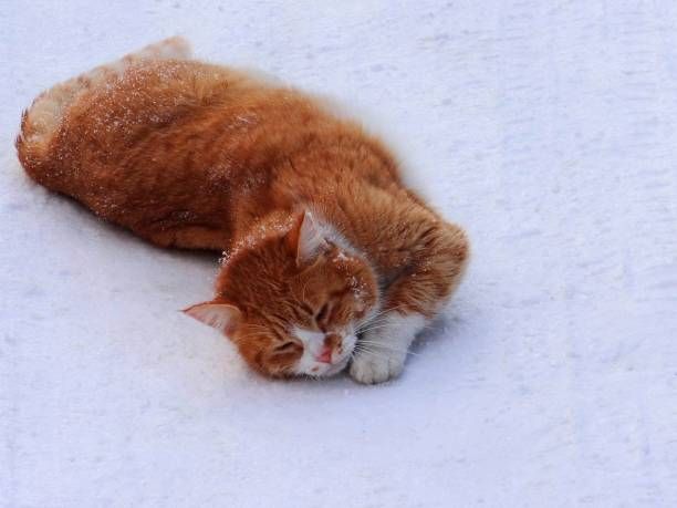 Big red cat lying on white snow picture id880455126?b=1&k=6&m=880455126&s=612x612&w=0&h=igb5ergqooaudjpwibtwyabnny0urufdustvkgcefpw=
