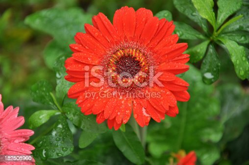 Big Red Daisy / Chrysanthemum - Gerbera Jamesonii in the Rain