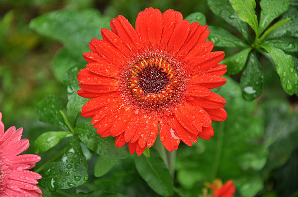 Big Red Daisy / Chrysanthemum - Gerbera Jamesonii in the Rain stock photo
