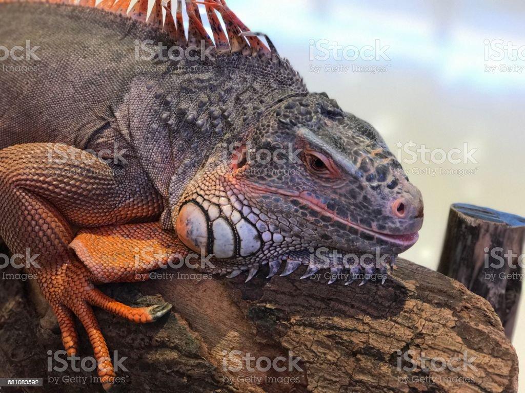 A big red iguana. stock photo