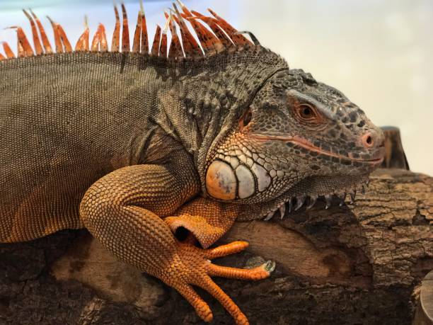 a big red iguana. - delude stock pictures, royalty-free photos & images