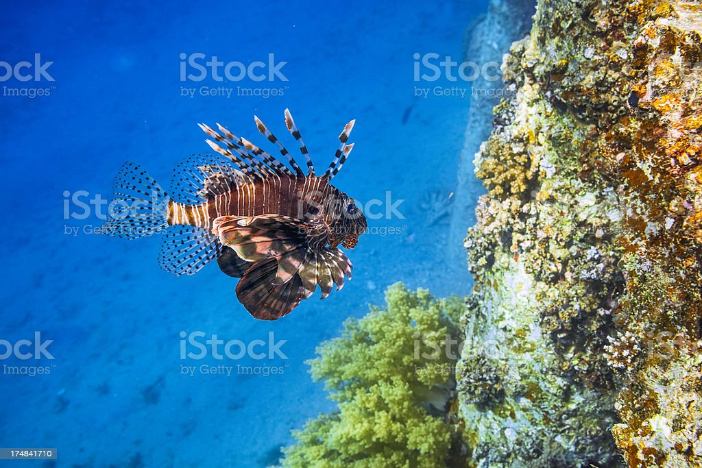 Big Red Lionfish - Pterois miles stock photo