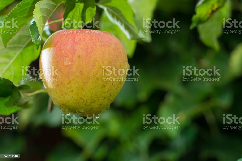 Big red ripe apples on the apple tree, ready to harvest stock photo