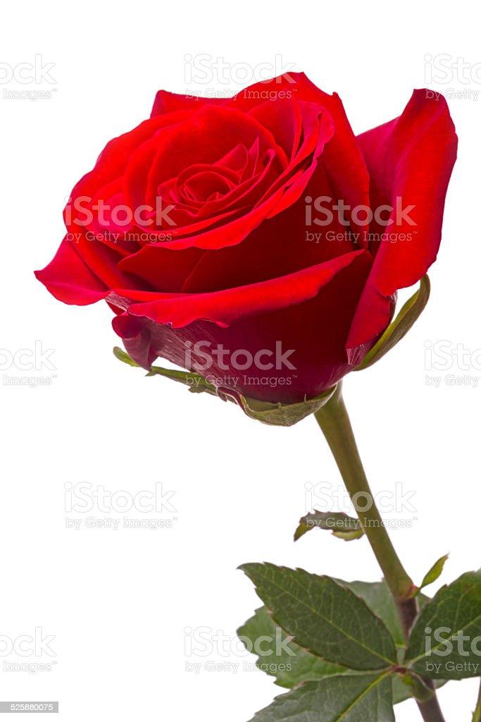 Big red rose stock photo