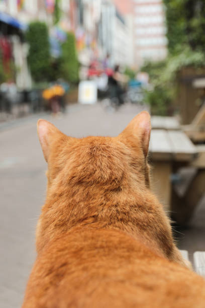 big red street cat observing road stock photo