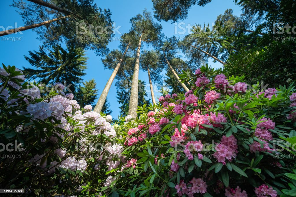 big rhododendron bushes in a forest, Germany zbiór zdjęć royalty-free
