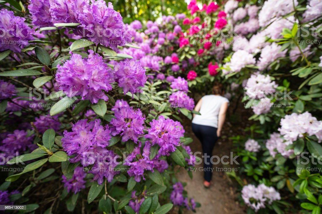 big rhododendron bushes in a forest, Germany royalty-free stock photo