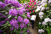 Thuringia, Germany: Big rhododendron bushes grow wild in a forest garden.