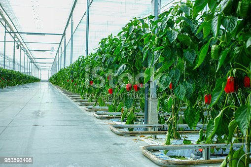 Big ripe sweet bell peppers, red paprika, growing in glass greenhouse, bio farming in the Netherlands