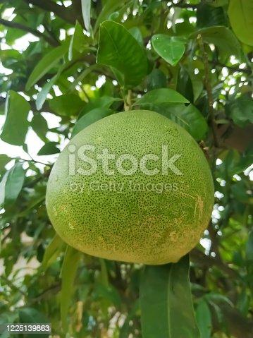 Big ripening citrus fruit on orange tree in orchard.Green leaf natural