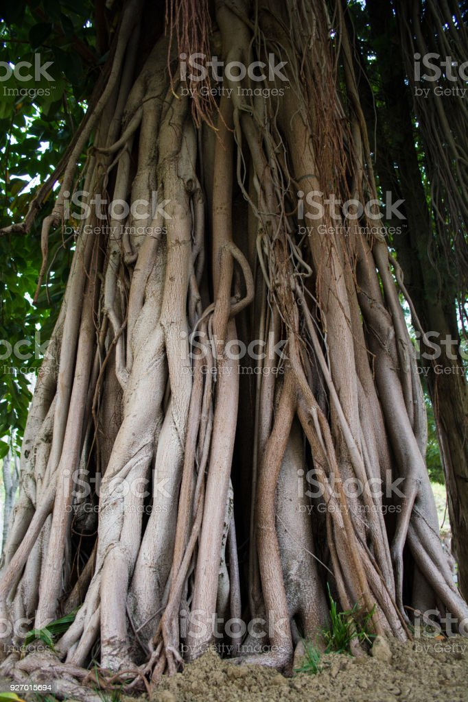 big root of banyan tree land scape of ancient stock photo