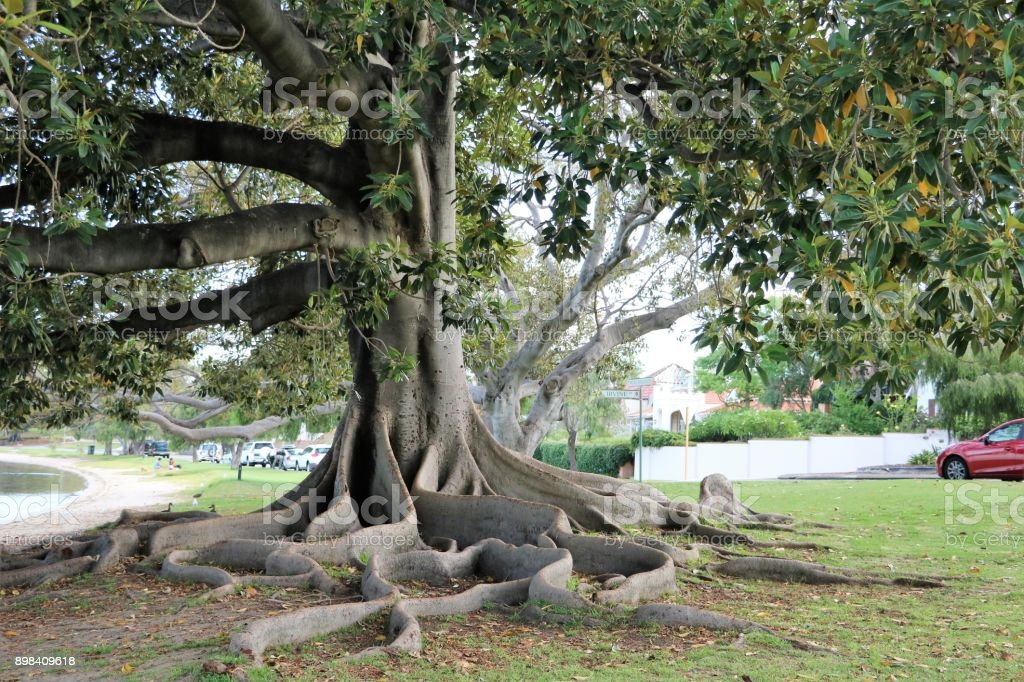 Big roots of Ficus macrophylla at Swan River in Perth, Western Australia - fotografia de stock