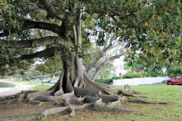 big roots of ficus macrophylla at swan river in perth, western australia - amoreiras imagens e fotografias de stock