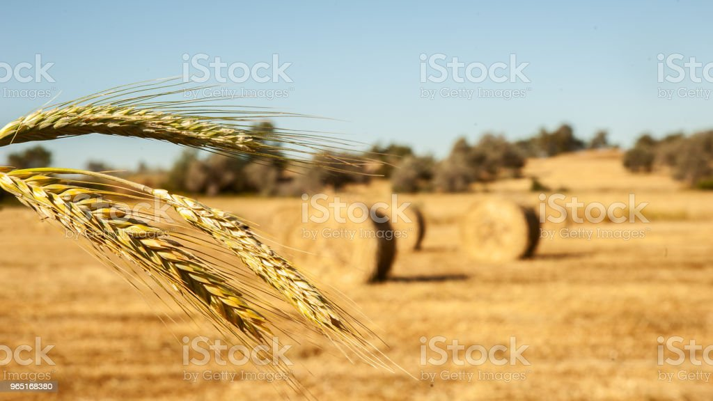 Big  round bales of straw, sheaves, haystacks on the field in the rays of the sun zbiór zdjęć royalty-free