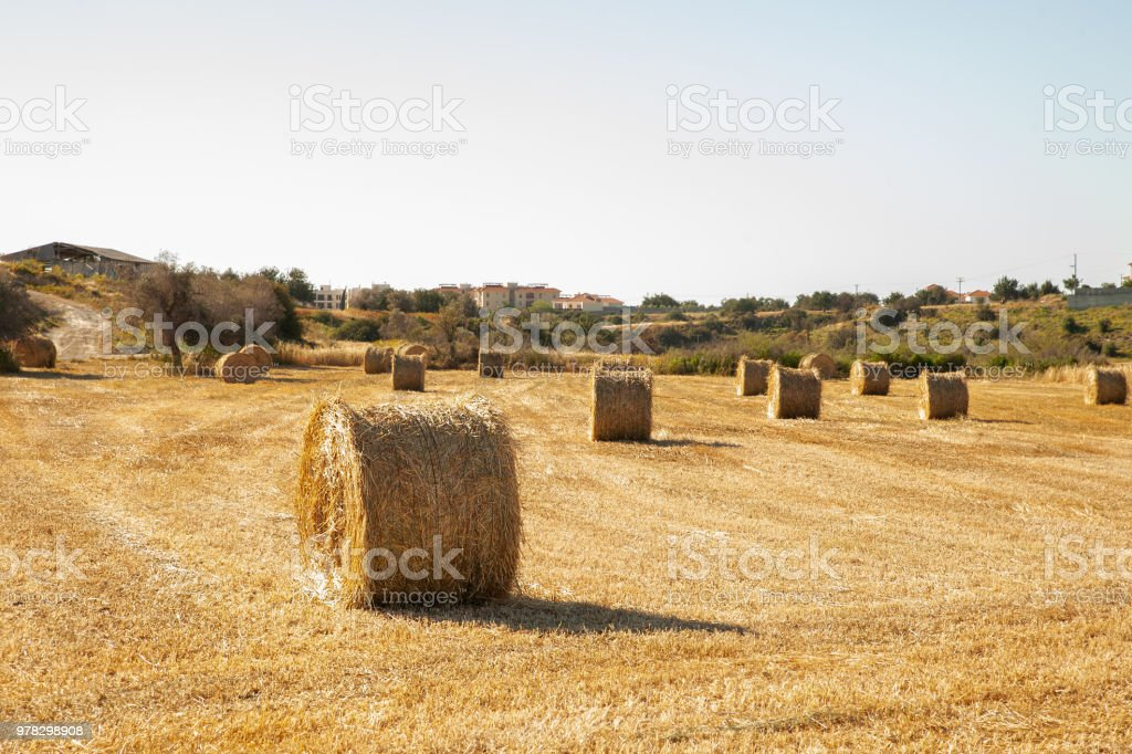 Big  round bales of straw, sheaves, haystacks on the field in the rays of the sun stock photo