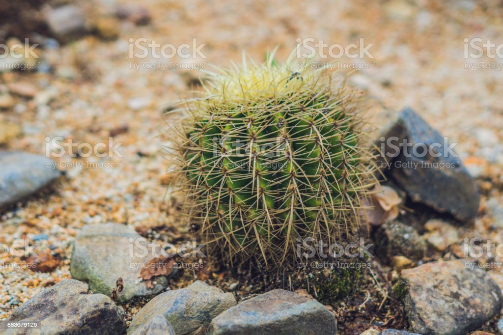Big round cactus in a tropical park stock photo