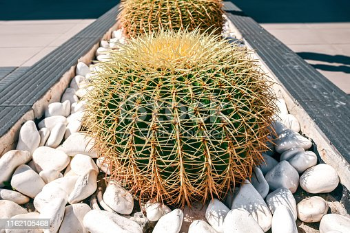 Big round cactus with prickles in a bed with white stones