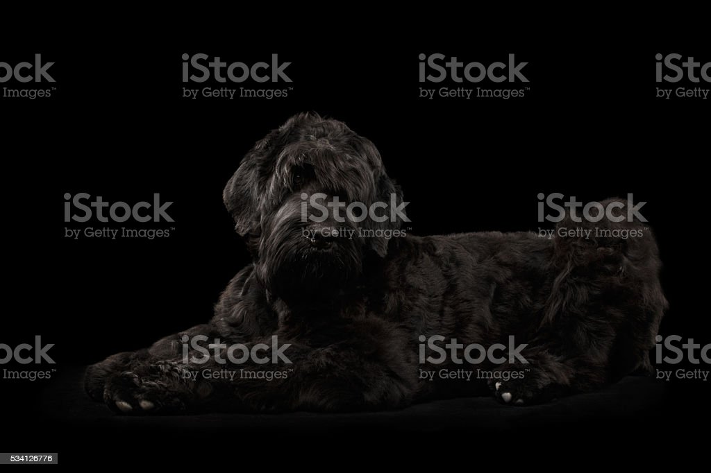 Big Russian Black terrier Dog Lying on Isolated Background stock photo