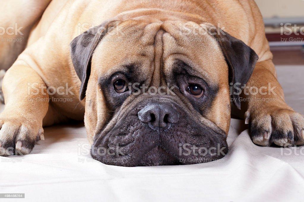 big sad dog stock photo