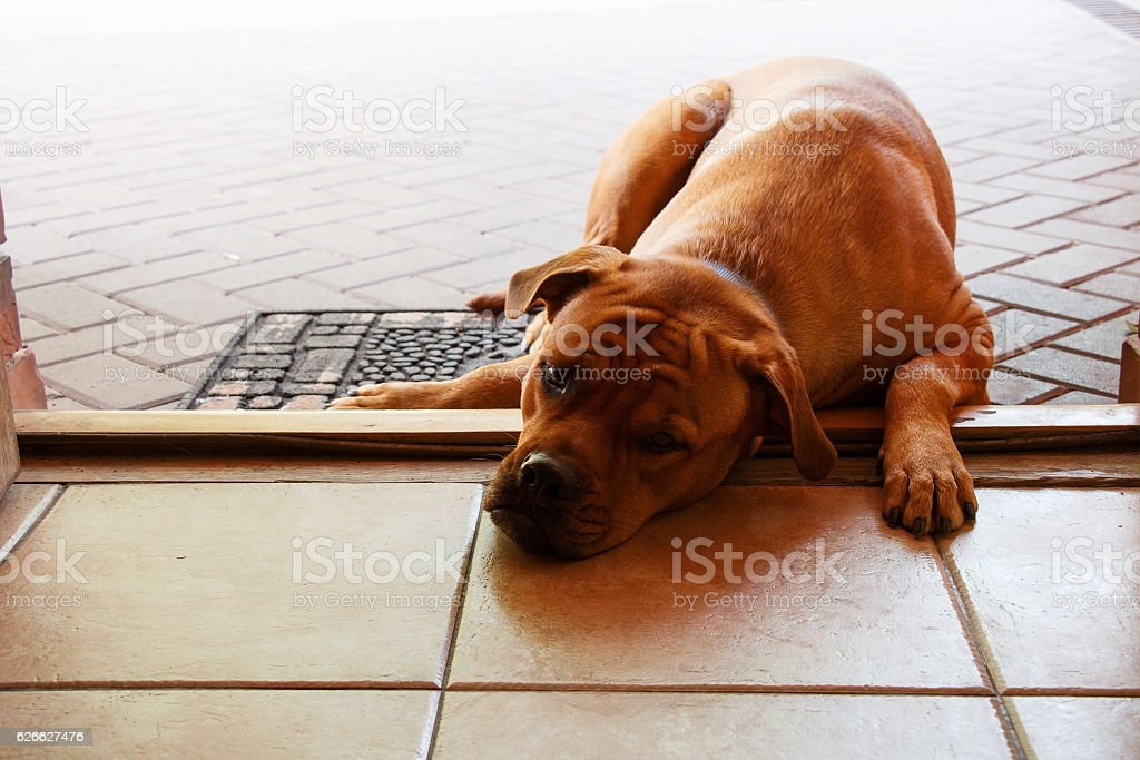 Big sad red dog lying on doorstep of entrance door stock photo