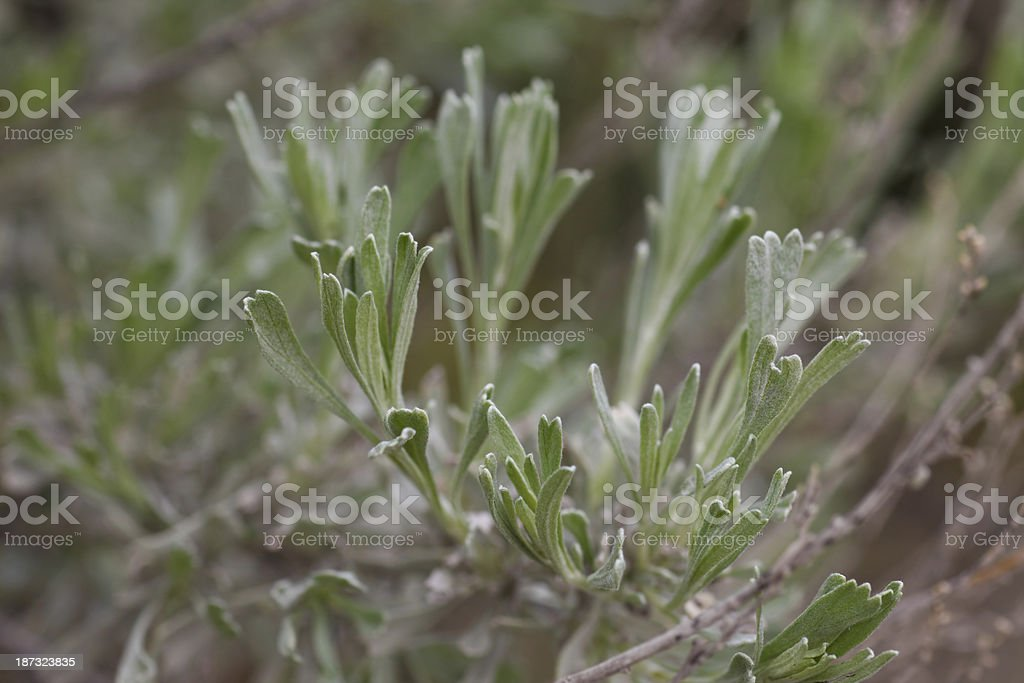 Big Sagebrush stock photo