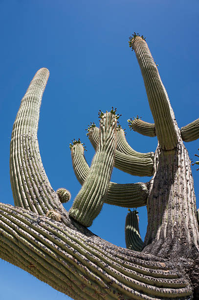 big saguaro - spring stock photos and pictures