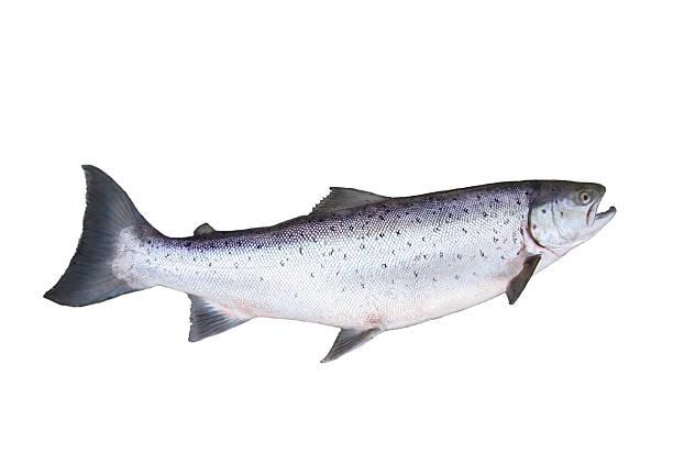 big salmon big salmon on white background salmonidae stock pictures, royalty-free photos & images
