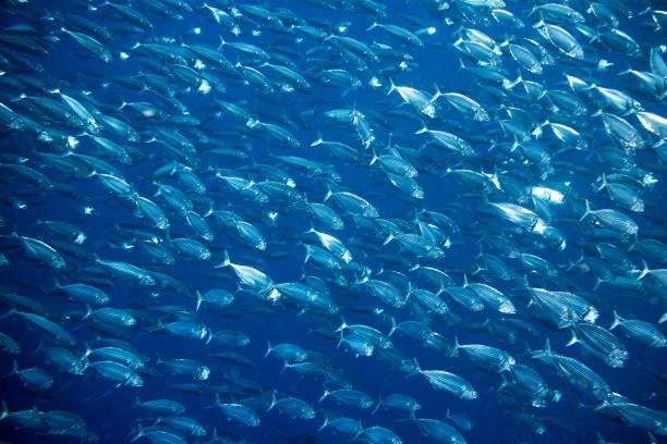 big school of mackerel - herring stock photos and pictures
