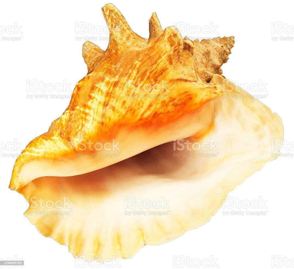 Big sea shell isolated stock photo