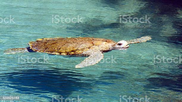 Big sea turtle picture id522525183?b=1&k=6&m=522525183&s=612x612&h=mmvyhfwlyank2mexbr0mzcfipmwk3ycj1jt hikj4is=