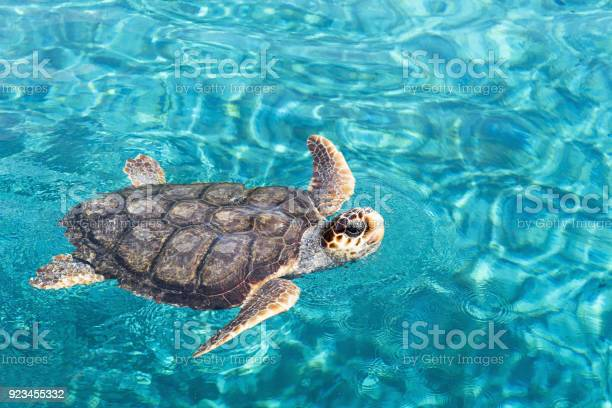 Big sea turtle swimming on water picture id923455332?b=1&k=6&m=923455332&s=612x612&h=ihdo4nznlppwswvsdzpdzfmg1svunj4ul7yrvlpao1y=