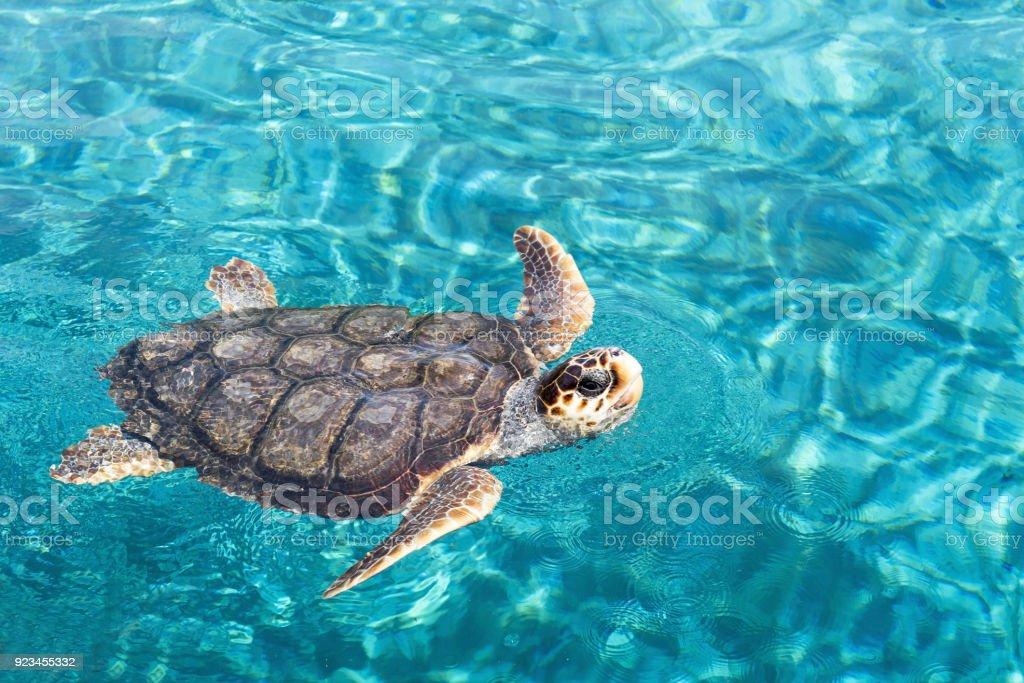 Big sea turtle swimming on water stock photo