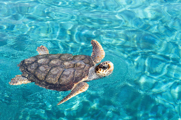 Big sea turtle swimming on water stock photo