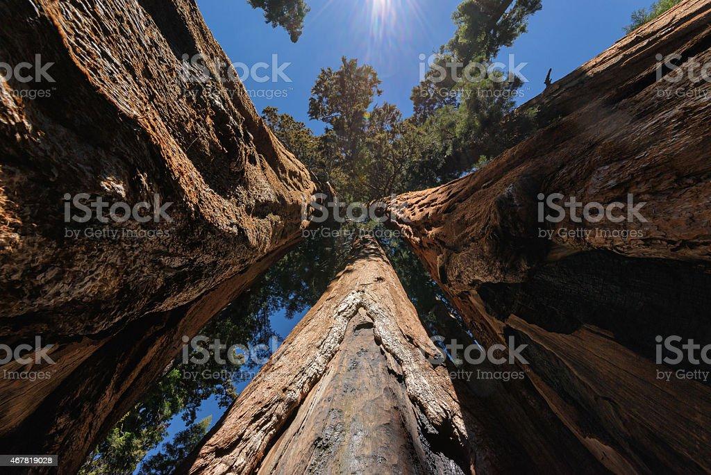 Big sequoias in beautiful sequoia national park stock photo