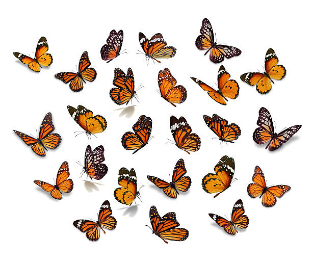 Big set monarch butterfly picture id616125186?b=1&k=6&m=616125186&s=612x612&w=0&h=1hlatrejykip lwrcs2nokfjeklcict0ho1 ldqkd3m=
