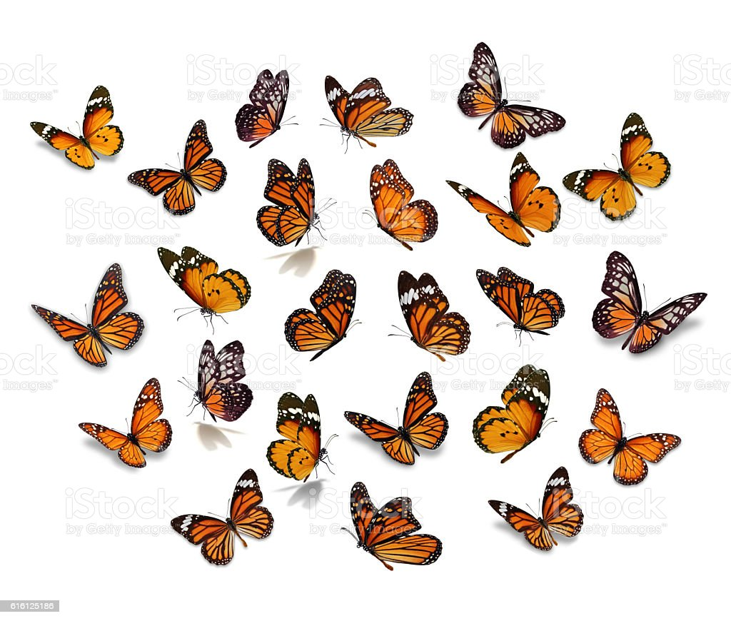 Big set Monarch Butterfly stock photo