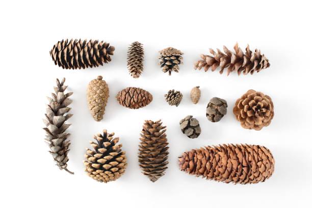 Gran conjunto de conos de varias coníferas aisladas sobre fondo blanco, ve desde arriba. - foto de stock
