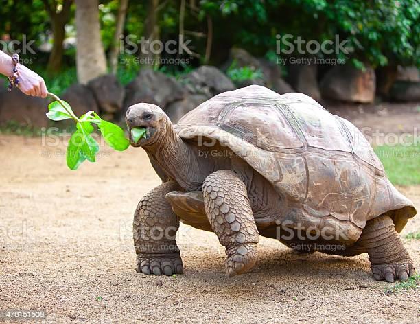 Big seychelles turtle eat picture id478151508?b=1&k=6&m=478151508&s=612x612&h=hk1d8pktz19opjsn7xbx4ta1xp91qqnmzga85nssrik=