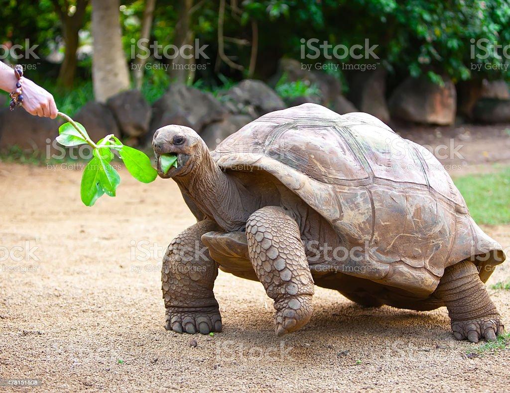 Big Seychelles turtle eat. stock photo