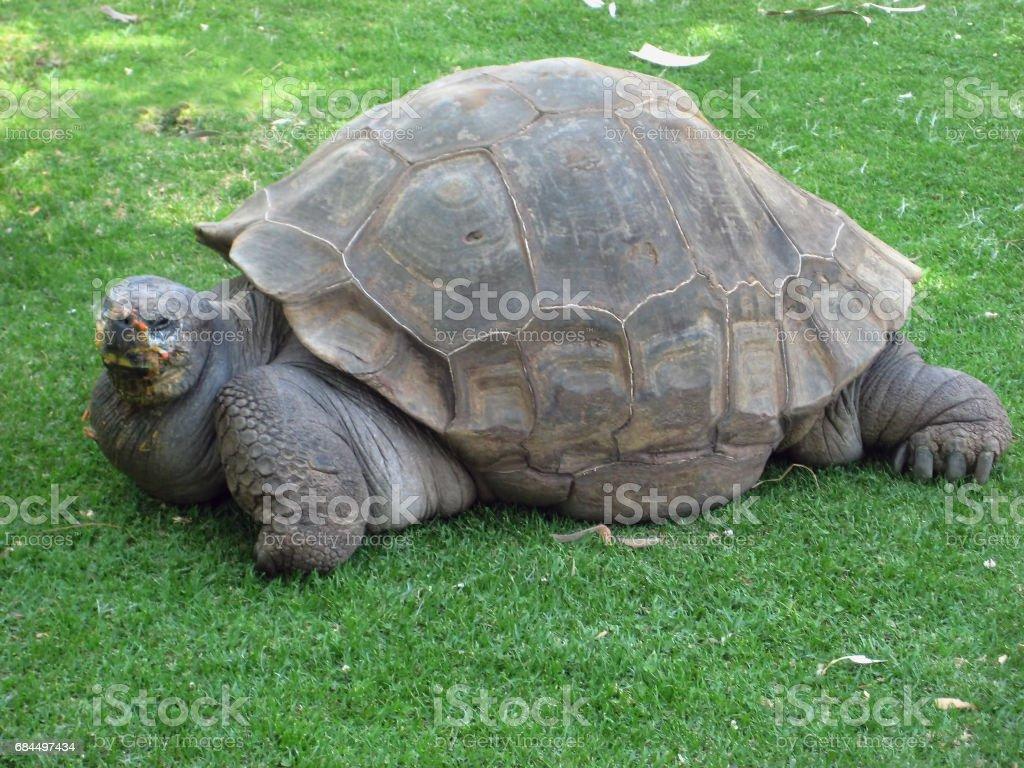 Big Seychelles turtle in Arequipa, Peru. stock photo