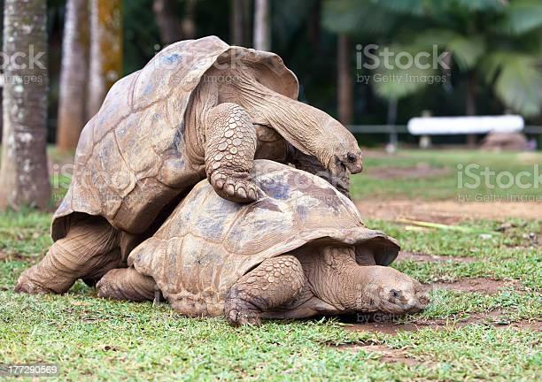 Big seychelles turtle in la vanille reserve park mauritius picture id177290569?b=1&k=6&m=177290569&s=612x612&h=w2rnjznahu2ciarqciw cvy 9r e6aaz5ctfgicgwpc=