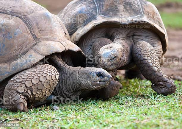 Big seychelles turtle in la vanille reserve park mauritius picture id177324146?b=1&k=6&m=177324146&s=612x612&h=2ynm93kovoeuw5r4ttjb k2wi9vkgkhuscsslqhjsom=